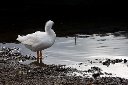 goose posing