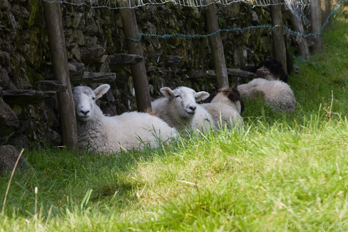sheep at rest