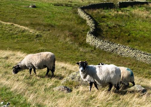 sheep watching me