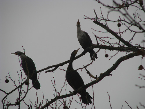 Three double-crested cormorants (Phalacrocorax auritus) perched in a tree on a foggy morning (20080126_01637)