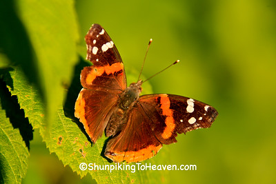 Red Admiral Butterfly, Rock County, Wisconsin