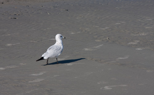 sea gull walking