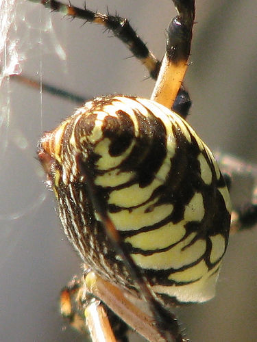 Close-up of a female black & yellow argiope (a.k.a. yellow garden spider; Argiope aurantia) showing the anchor line coming from her spinnerets (20081011_13622)