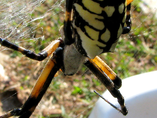 Close-up of a female female black & yellow argiope (a.k.a. yellow garden spider; Argiope aurantia) as she clings to her web (20081011_13625)