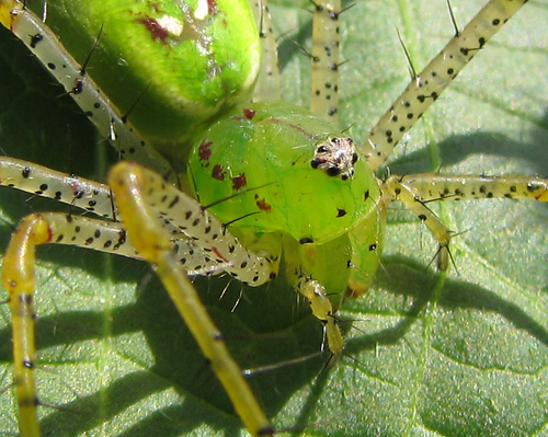 Close-up of a female green lynx spider (Peucetia viridans) resting atop a leaf (20081011_13688)