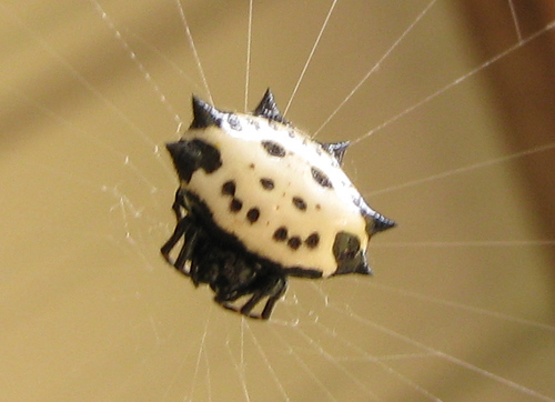 A female spinybacked orbweaver (a.k.a. crab spider, spiny orbweaver, jewel spider, spiny-bellied orbweaver, jewel box spider or smiley face spider; Gasteracantha cancriformis) clinging to the center of her web (20081011_13705)