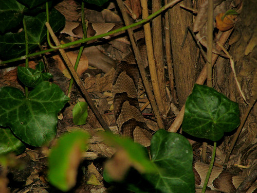 A southern copperhead (Agkistrodon contortrix contortrix) slithering off into the underbrush (20081004_13086)