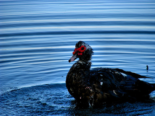 Elvis again, a large male muscovy duck (Cairina moschata), taking a refreshing bath near shore (20080614_06555)