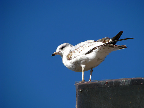 A juvenile ring-billed gull (Larus delawarensis) standing atop a light post and watching me closely (20080114_01205)