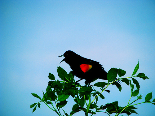 A male red-winged blackbird (Agelaius phoeniceus) perched atop a shrub singing his crazy head off (20080420_04224)