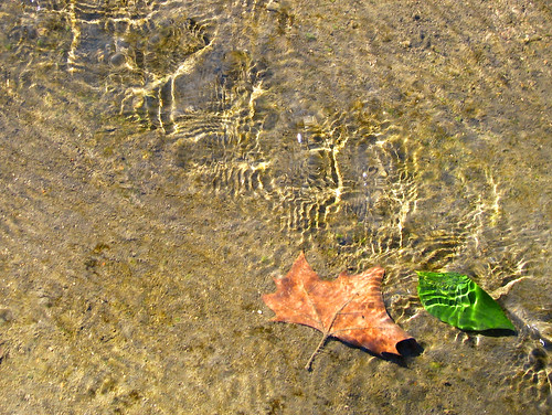 One brown and dead while the other is green and freshly fallen, two leaves rest beneath the surface of shallow water (20080202_01863)