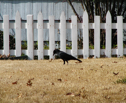 An American crow (Corvus brachyrhynchos) searching through winter grass in front of a classic white picket fence (20080203_01879)