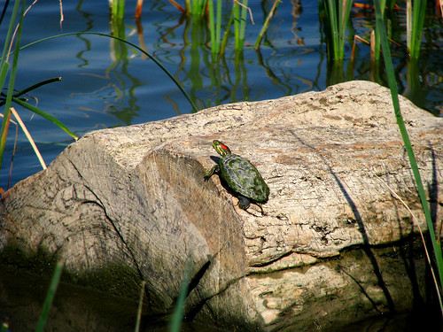 A small red-eared slider (Trachemys scripta elegans) atop a proportionally massive log (20080405_02969)