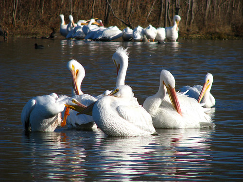 American white pelicans (Pelecanus erythrorhynchos) preening at sunrise with another group far in the background (IMG_0109)