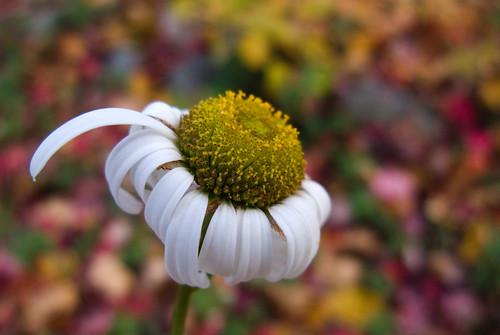 daisy against fall colors