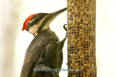 Female Pileated Woodpecker on Peanut Feeder, Dane County, Wisconsin