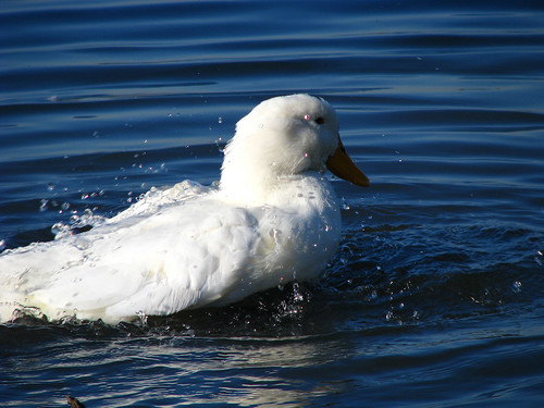 A pekin duck (a.k.a. domestic duck, white pekin duck, or Long Island duck; Anas domesticus) taking a bath (20081101_14213)