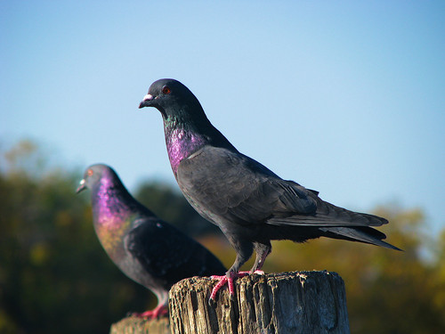 Rock doves (a.k.a. common pigeon; Columba livia) perched on the juts of a pier (20081101_14249)