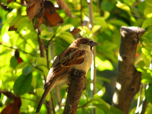 A male house sparrow (Passer domesticus) clinging to the branch of a shrub (20081020_13882)