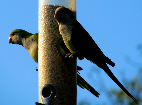 Monk parakeets (a.k.a. quaker parrots; Myiopsitta monachus) perched on a bird feeder (20081004_13169)