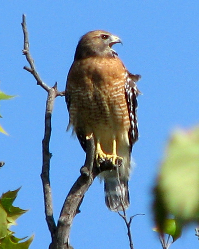 A female red-shouldered hawk (Buteo lineatus) calling out from a treetop limb (20081004_13293)