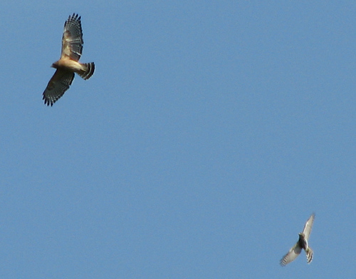 An unidentified accipiter hawk chasing a red-shouldered hawk (Buteo lineatus) in flight (20081004_13296)