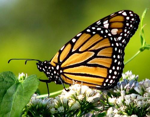 A monarch butterfly (Danaus plexippus) (20081004_13203)