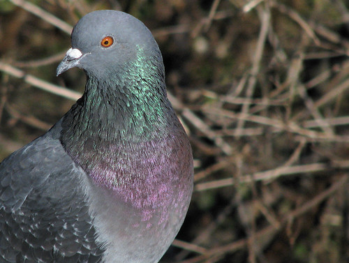 A rock dove (a.k.a. common pigeon; Columba livia) looking away (20080202_01690)