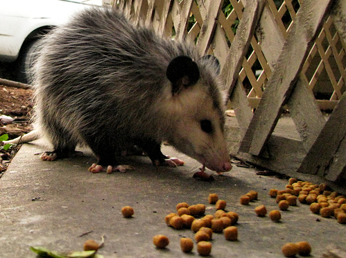 A Virginia opossum (a.k.a. possum; Didelphis virginiana) eating cat food outside the patio fence (20081102_14542)