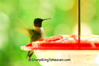 Male Ruby-throated Hummingbird at Feeder, Dane County, Wisconsin