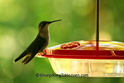 Female Ruby-throated Hummingbird at Feeder, Dane County, Wisconsin