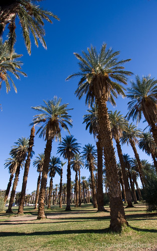 Furnace Creek palms