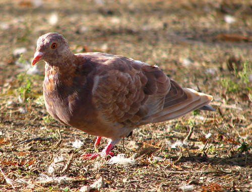 A rock dove (a.k.a. common pigeon; Columba livia) with highly unusual plumage coloration and patterns (20081127_14908)