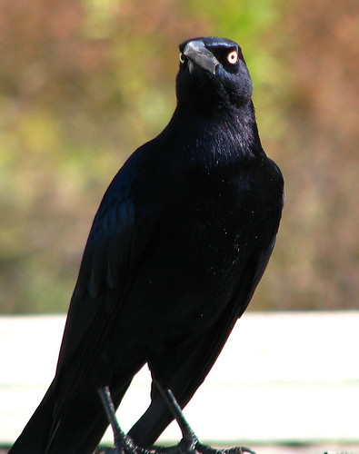A male great-tailed grackle (Quiscalus mexicanus) looking down his beak at me (20081127_15007)