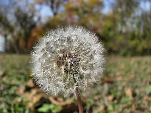 A close-up of a common dandelion (Taraxacum officinale) that has gone to seed (20081127_14945)