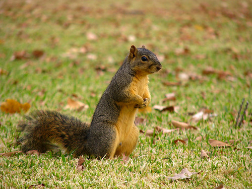 A female fox squirrel (Sciurus niger) sitting up on her haunches with her front paws crossed in front of her (20081127_15177)