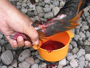 Chicken slaughtering
