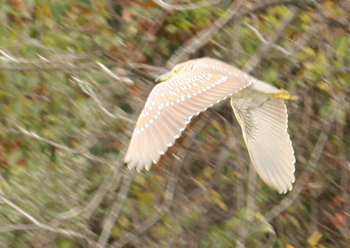 A juvenile black-crowned night heron (Nycticorax nycticorax) flying in front of autumnal woodlands (2008_12_13_002065)
