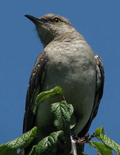 A northern mockingbird (Mimus polyglottos) perched in a treetop (20080518_05644)