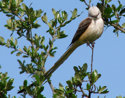 A scissor-tailed flycatcher (Tyrannus forficatus) perched in a tree (20080426_04717)