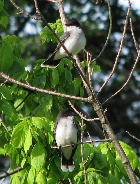 Two eastern kingbirds (Tyrannus tyrannus) perched in a tree (20080426_04639)