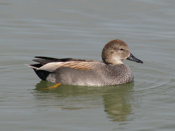 A male gadwall (Anas strepera) floating on the still surface of White Rock Lake (20080223_02152)