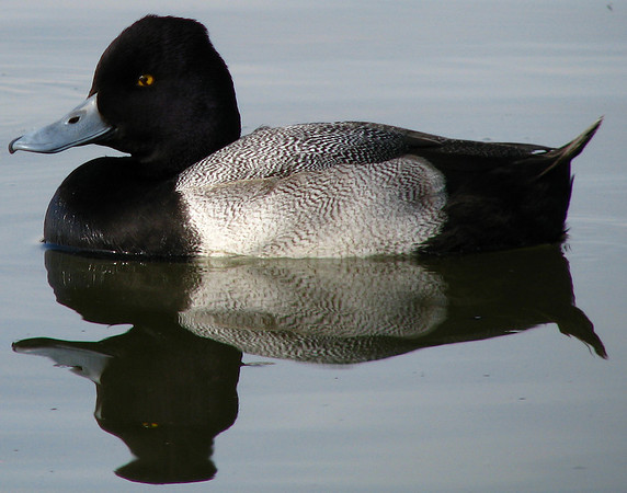 A male lesser scaup (Aythya affinis) floating near shore (20081127_14963)