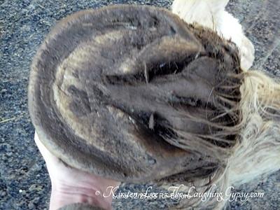 Luna RF Before Barefoot Trim