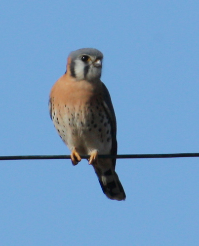 A male American kestrel (Falco sparverius) perched on a wire (2008_12_25_003256)