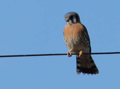 A male American kestrel (Falco sparverius) perched on a wire (2008_12_25_003262)