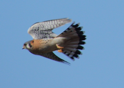 A male American kestrel (Falco sparverius) in flight (2008_12_25_003263)