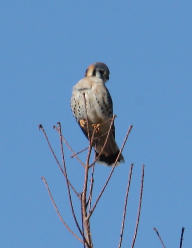 A male American kestrel (Falco sparverius) perched in a treetop (2008_12_28_004089)