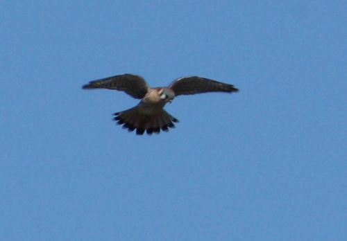 A male American kestrel (Falco sparverius) hovering above a field (2008_12_28_004092)