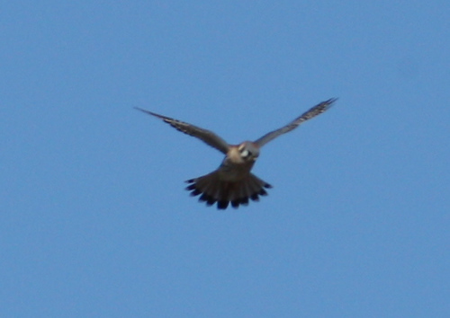 A male American kestrel (Falco sparverius) hovering above a field (2008_12_28_004093)